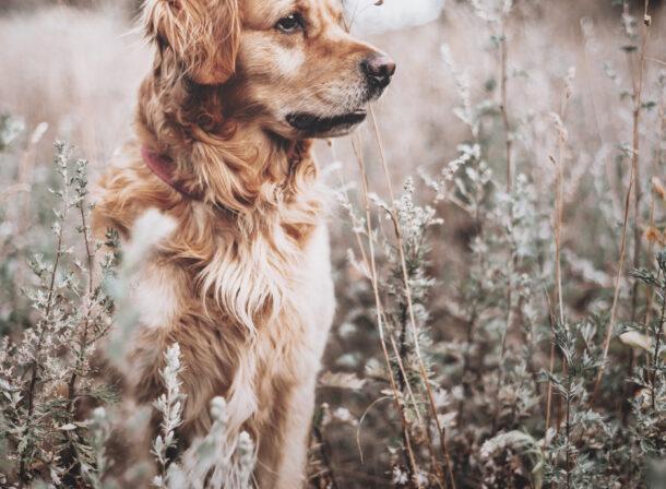 Hundeshooting Bocholt Golden Retriever