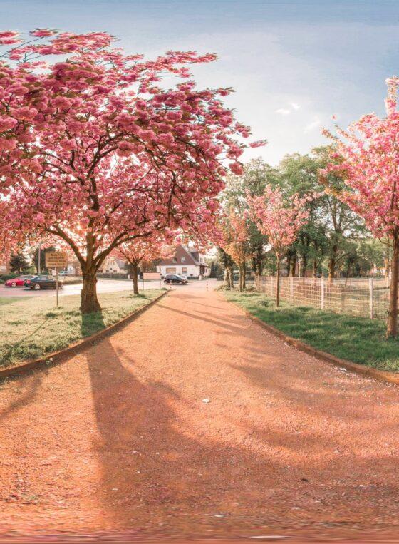 Kirschblüte Dinslaken equirectangular